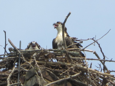 James and Dolley's Osprey Babies 2012