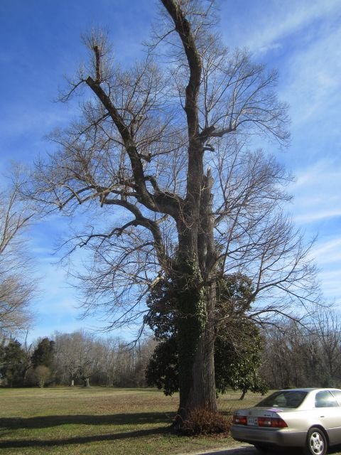 Hickory in front of the house on the Carriage side. It is within 40 - 50 feet  of the house
