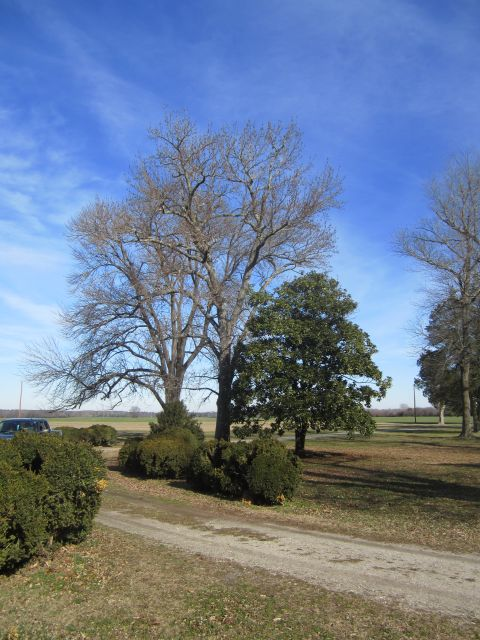 Hickory, Sweet Gum and Magnolia (l to r)Trees in and around the Bowling Green on the Carriage side