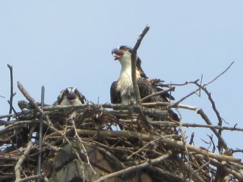 Our Osprey Babies from 2012