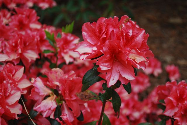 Azaleas - Dorothy Gish