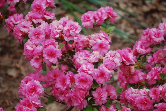 Azaleas - Double Pink