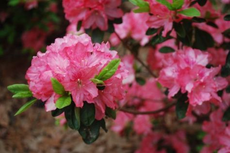 Azaleas - Hampton Beauty