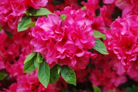 Azaleas - Rosy Frills