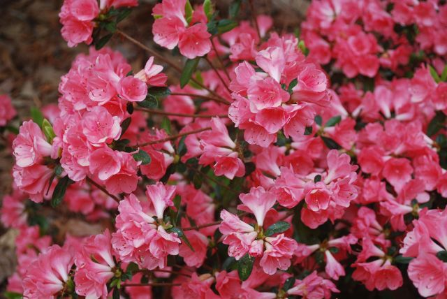 Azaleas - Salmon Surprise
