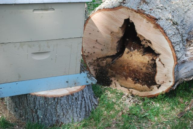 The inside bee hive in the Red Maple