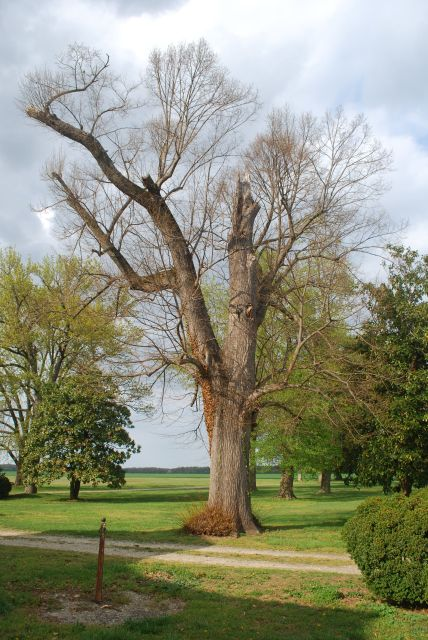 180 year old Mulberry Tree Belle Grove Plantation