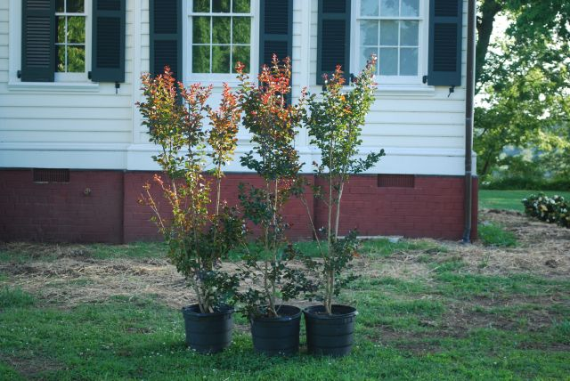 Pink Velour Crepe Myrtles