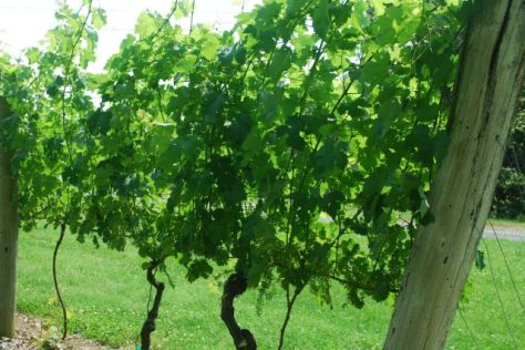 Oak Crest Vineyard small